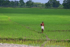 File photo of a rice field in Bihar. Credit: Jim (CC BY-NC-ND 2.0 license)
