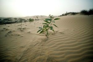 Eucalyptus plant taking root on sand dunes near Lompoul. In an effort to prevent the desert from engulfing fertile land, the Government has undertaken tree-planting projects such as this with help from the UN Environment Programme and the UN Development Programme (UNDP). 1983. Credit: UN Photo CC 2.0.