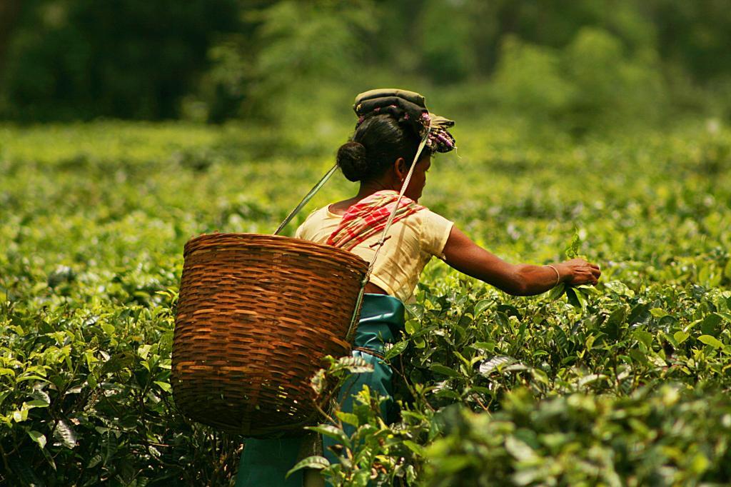 Tea plucker, Assam. Credit: Akarsh Simha
