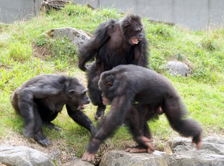 Chimpanzees Have a Sense of Morality - The Wire