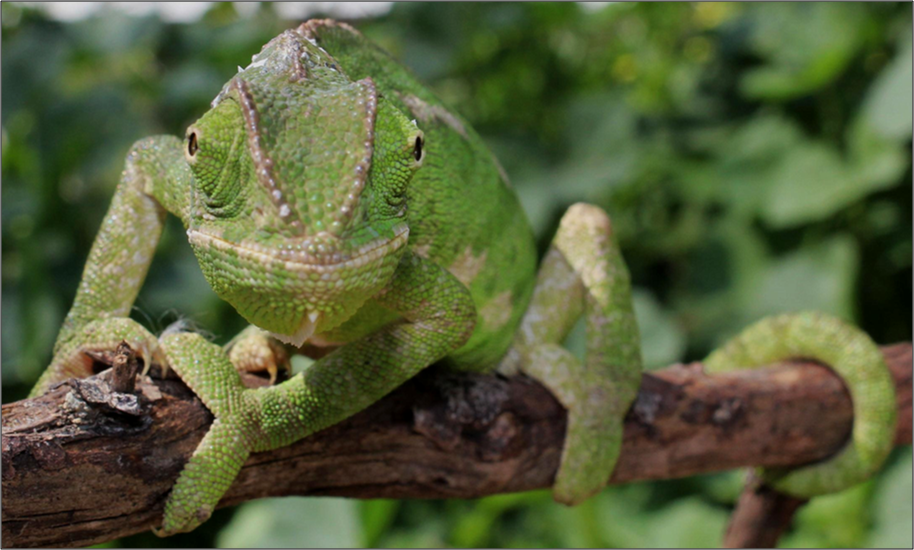 Does One Eye of a Chameleon Know What the Other is Looking at?