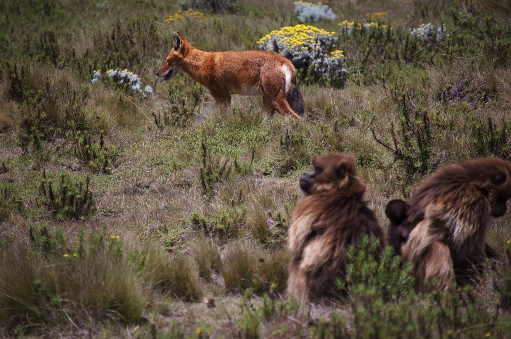 A pair of geladas unperturbed by the close presence of a wolf. Credit: Jeff Kerby/Tyler Barry