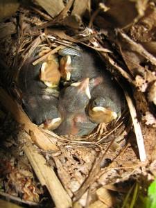 Young nightingales. Credit: Conny Bartsch