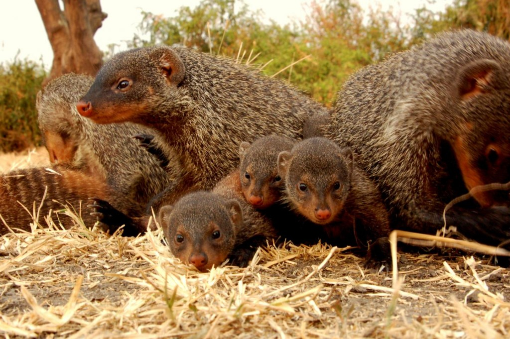 Mongooses Wear Themselves Thin Being Devoted Babysitters