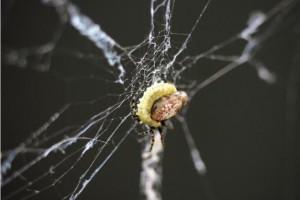 A parasited spider. Credit: Keizo Takasuka