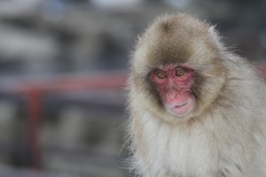 A Japanese macaque. Credit: gregthebusker/Flickr, CC BY 2.0