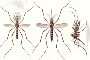 A male Aedes aegypti (left), and a female (centre and right). Credit: Wikimedia Commons