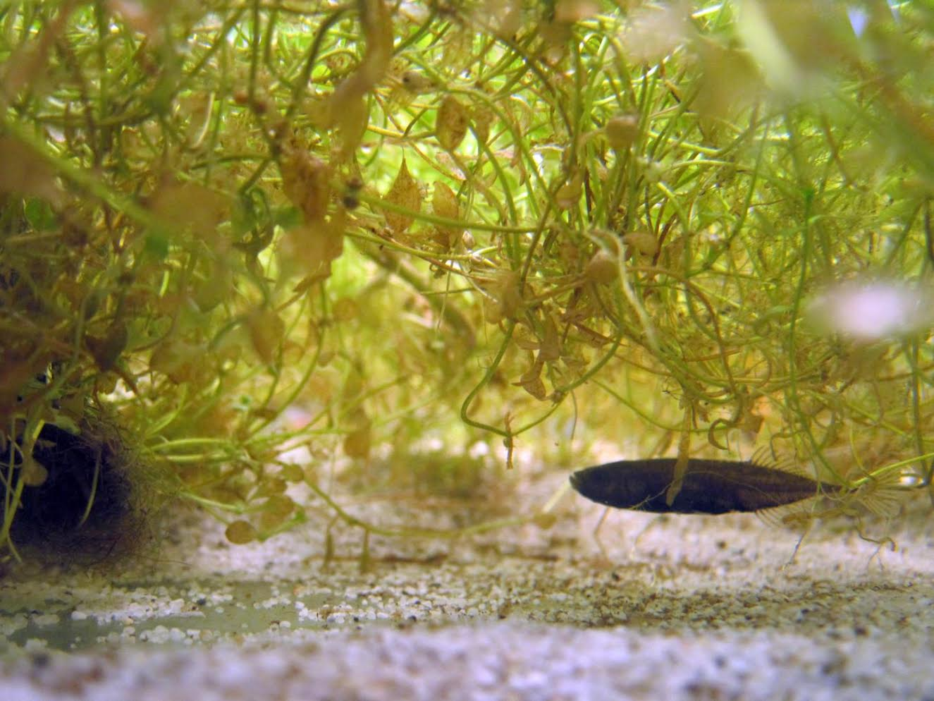 A stickleback with its nest. Credit: Fwals