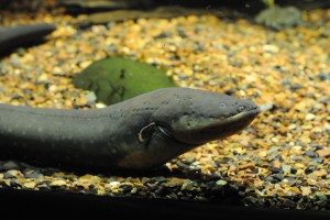 An electric eel. Credit: chrisbrenschmidt/Flickr, CC BY 2.0