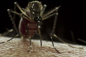 The Aedes aegypti mosquito in macrophotography. Credit: Sanofi Pasteur