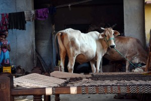 Cows at a house at Bisara village where Mohammad Akhlaq was lynched by a mob after rumours of beef eating, in Dadri on September 28. Credit: PTI Photo by Atul Yadav/ Files