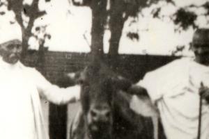 gandhi cow cropped