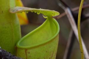 Slender pitcher plant oozing nectar. Credit: Ulrike Bauer
