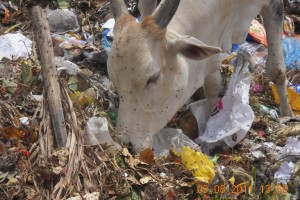 A cow seen rummaging through daily waste. Credit: Karuna Society for Animals and Nature