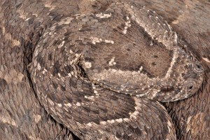 Puff adders are ambush foraging snakes and therefore have squat bodies and broad heads for handling their infrequent, large meals. Snakes with this body form tend to be slow moving, and can thus not rely on speed to escape from predators. Credit: Graham Alexander
