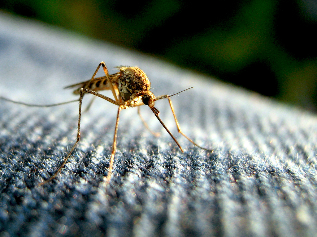 India has for long been a breeding ground for mosquitoes and mosquito-carried diseases, and so its authorities should be on the alert for a possible Zika virus invasion in the near future. A mosquito. Credit: turkletom/Flickr, CC BY 2.0