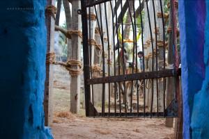 A bull waits its turn at the gate to the Palamedu jallikattu in Madurai. Credit:  Manu Manohar/Flickr CC 2.0