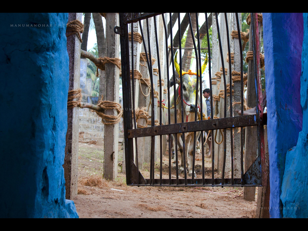 A bull waits its turn at the gate to the Palamedu jallikattu in Madurai. Credit: Manu Manohar/Flickr CC 2.0