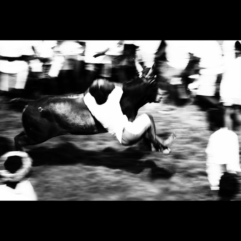 Banning Jallikattu Will Undermine Tamil Nadu's Indigenous Cattle Breeds