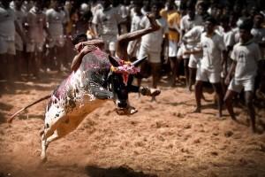 A youth tries to take control of a bull in jallikattu at Alanganallur. Credit: iamkarna/Wikimedia CC 3.0