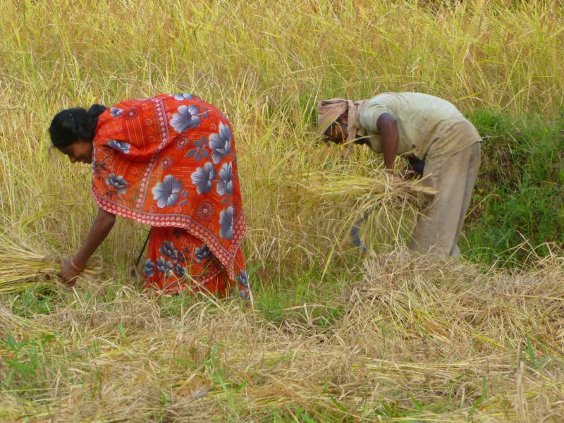Wheat and Rice Procurement at Record High: What Should Change to Promote Diversification?