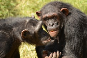 Two of the chimpanzees that participated in the study. Credit: Esther Hermann