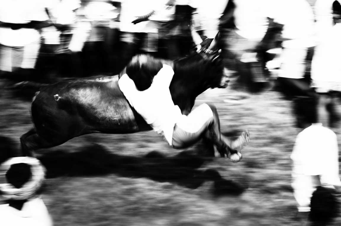 The bulls in Alanganallur came out of the vaadi vaasal (entry door) at high speed. Only a quarter of the contestants were able to hang on to the bull and win the contest. Credit: Vinoth Chandar/Flickr CC 2.0