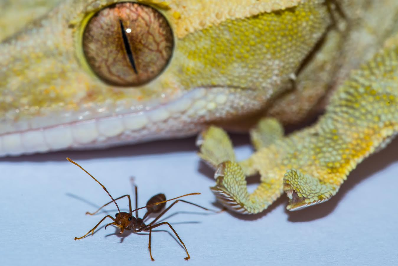 A gecko and an ant. Credit: A. Hackmann and D. Labonte
