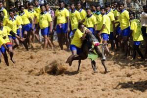 File picture of a Jallikattu event in Madurai. Credit: Mahendrabalan, Wikipedia CC