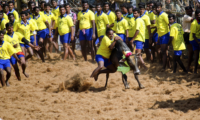 There is Nothing Wrong With the Government's Permission for Jallikattu