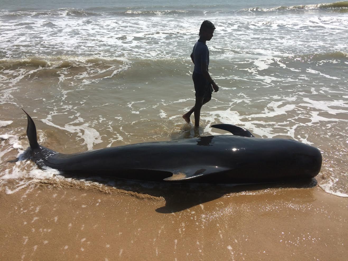 The body of a stranded pilot whale at Kallamozhi. Credit: Saravanakumar