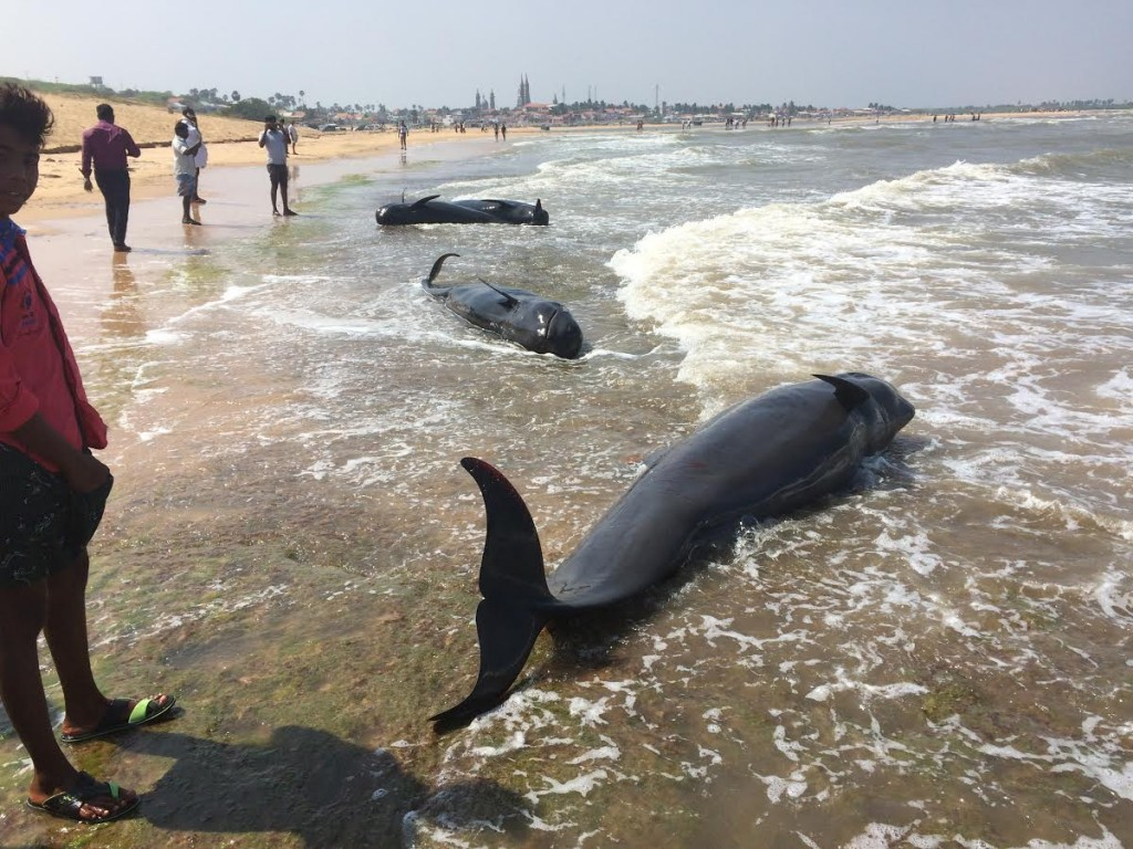 The bodies of three dead pilot whales after they stranded themselves, at Kallamozhi. Credit: Saravanakumar