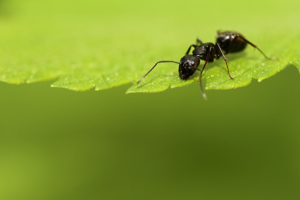 Old Age Doesn't Affect Ants