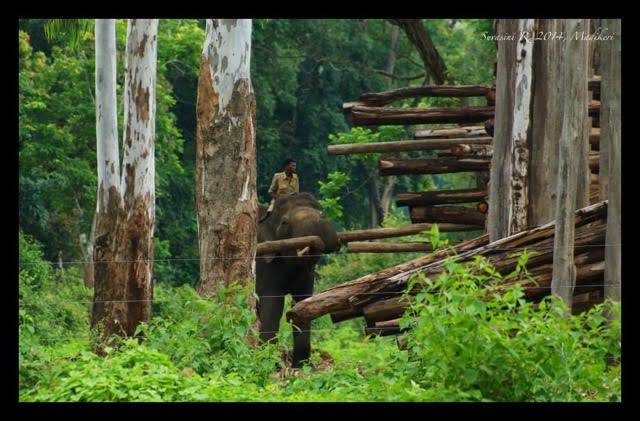 An elephant being used for carrying logs. Credit: Suvasini Ramaswamy