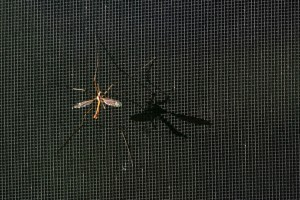 A mosquito. Credit: slgc/Flickr, CC BY 2.0