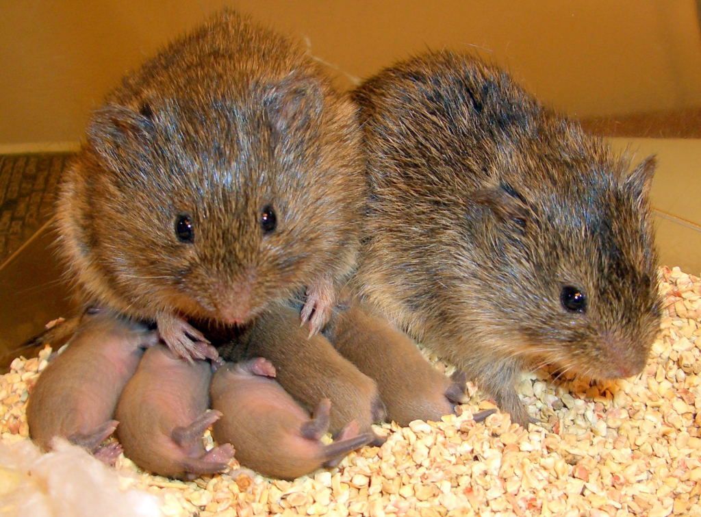 Even Some Rodents Display Empathy