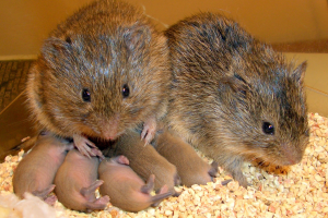 Among prairie voles, both parents take equal responsibility in rearing offspring Credit: Todd Ahern