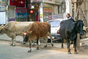 Cows on Indian streets. Credit: McKay Savage, Wikipedia Commons