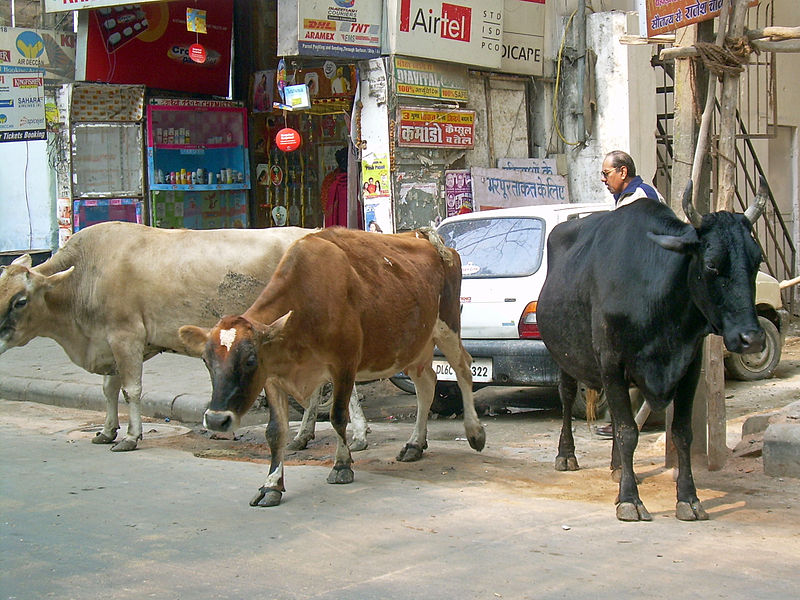 Image result for punjab on road bull befelow cow