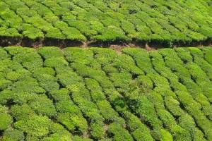 File picture of Munnar tea estates. Credit: Nikolas Becker, Wikipedia Commons