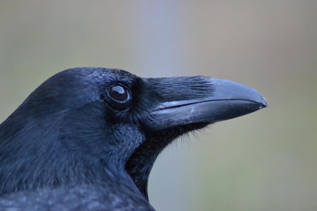 Can Ravens Think Abstract Thoughts?
