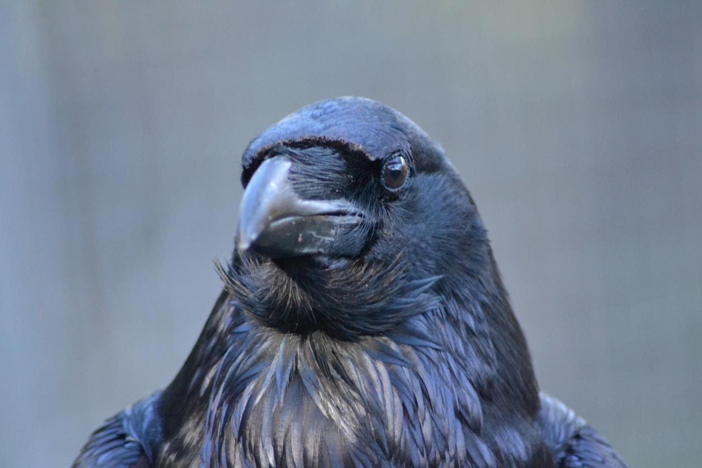 The study claims ravens can connect the acoustic information with their own experience mentally. Credit: Jana Müller, Universität Wien