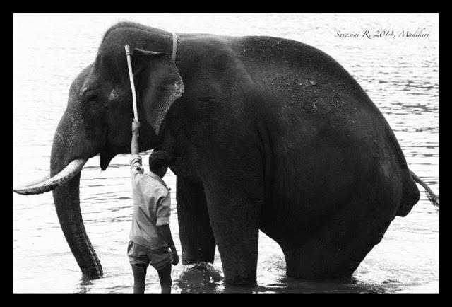 An elephant being bathed. Credit: Suvasini Ramaswamy