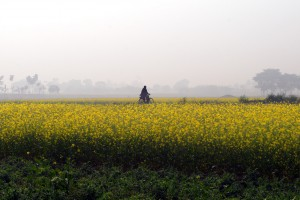 A field of mustard flowers in Nadia, West Bengal. Credit: kgabhi/Flickr, CC BY 2.0