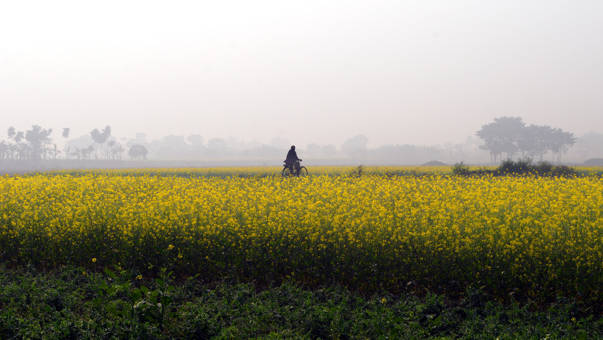 Why Transgenic Mustard is Unlikely to Hurt You or Your Environment