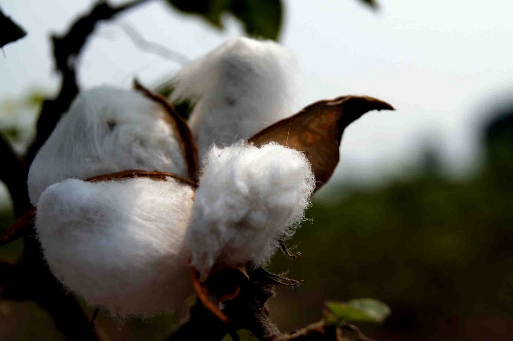 Should GM Crops Feature in the 'Evergreen Revolution' India Dearly Needs?