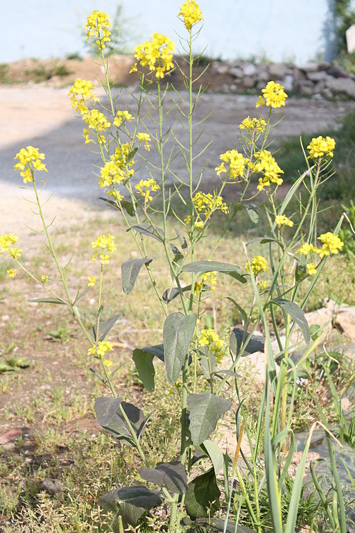 Brassica juncea. Credit: Dalgial/Wikimedia Commons, CC BY-SA 3.0