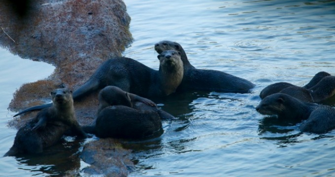 Otters Return to a Revitalised Kerala River