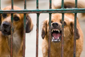 A barking dog, frothing at the mouth. Credit: chiefjancris/Flickr, CC BY 2.0