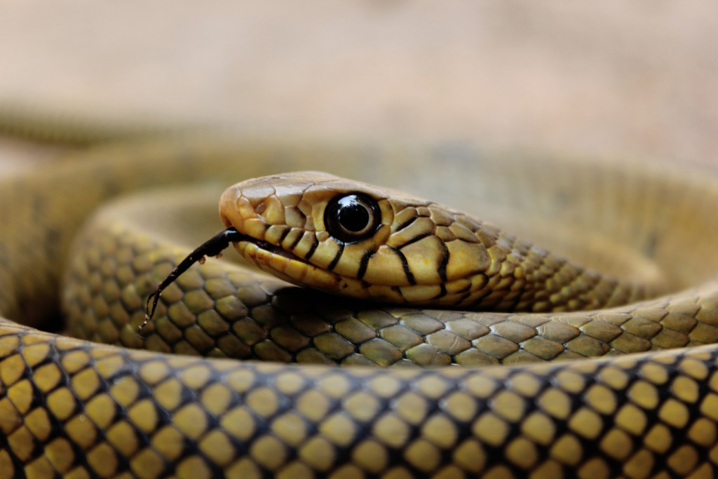 Listen: Snakebites, Anti-venom and a Country that Lets the Problem Slither Away